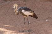 Crowned crane Balearica regulorum in the farm — Stock Photo