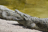 Crocodylia alligator Mississippi — Photo