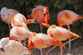 Flamingo de Phoenicopterus ruber ruber rojo — Foto de Stock