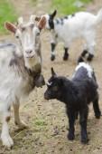 Kozy w gospodarstwie — Zdjęcie stockowe