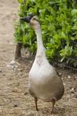 Goose in he farm — Stock Photo