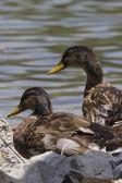 Ducks on lake — Stock Photo