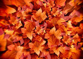 Autumn Leaves. Fall Background. Color Explosion — Stock Photo