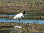 Jabiru Stork (Jabiru mycteria) — Stock Photo
