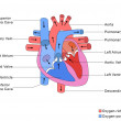 Simplified Structure of Heart — Stock Photo #62671491