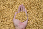 Wheat Grains in hand — Stock Photo