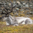 Wild reindeer on svalbard meadow — Stock Photo #54305871