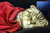 Scottish Fold cat sweetly sleeps under a red blanket — Stock Photo