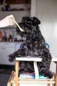 Man feeding funny dog schnauzer as a baby — Stock Photo
