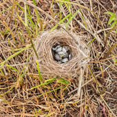 Devastated nest with speckled eggs lying on the grass clippings — Stock Photo