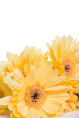 Gelbes gerbera blume — Stockfoto