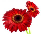Wine-red gerbera — Stock Photo