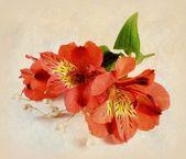Inkas lily — Stock Photo