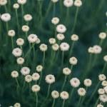 "White Flower named ""Santolina Pinnata"" — Stock Photo"
