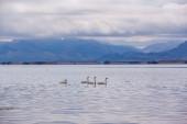 Four white swans swimming — Stock Photo