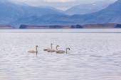 Four swans swimming — ストック写真