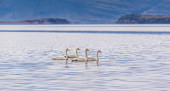 Four swans swimming — Stock Photo