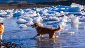 Dog paddling through icy water — Foto de Stock