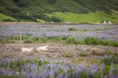 Blue wildflowers — Stock Photo