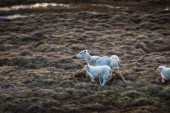 Sheep running through farmland — Stock Photo