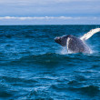 Jumping humpback whale — Stockfoto