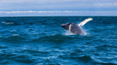 Jumping humpback whale — Stock Photo