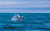 Jumping humpback whale — Stock fotografie