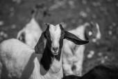 Inquisitive goa — Stock Photo