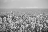 Field of flowering yellow rapeseed — ストック写真