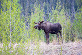 Browsing Bull Moose — Stock Photo