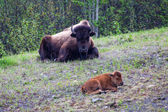 Bison Parent and Calf — Stock Photo