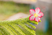 Desert rose flowers on green prickly branches of a fur-tree or p — Stock Photo