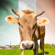 Cow with flag on background series - Ireland — Stock Photo #55613707