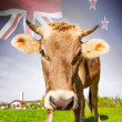 Cow with flag on background series - New Zealand — Stock Photo #55614373