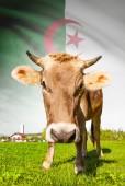 Cow with flag on background series - Algeria — Stock Photo
