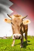 Cow with flag on background series - Bahrain — Stock Photo
