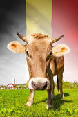 Cow with flag on background series - Belgium — Stock Photo
