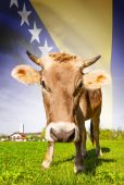 Cow with flag on background series - Bosnia and Herzegovina — Stock Photo