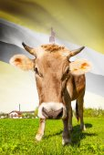 Cow with flag on background series - Brunei — Stock Photo