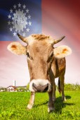 Cow with flag on background series - Burma — Stock Photo