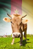 Cow with flag on background series - Cameroon — Stock Photo