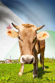 Cow with flag on background series - Djibouti — Stock Photo