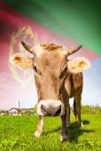 Cow with flag on background series - Eritrea — Stock Photo