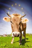 Cow with flag on background series - European Union — Stock Photo
