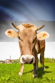Cow with flag on background series - Estonia — Stock Photo