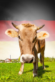 Cow with flag on background series - Germany — Stockfoto
