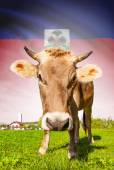 Cow with flag on background series - Haiti — Stock Photo