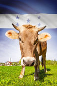 Cow with flag on background series - Honduras — Stock Photo