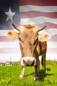 Cow with flag on background series - Liberia — Stock Photo