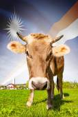 Cow with flag on background series - Marshall Islands — Stock Photo
